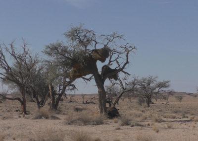 Solitaire verso Windhoek (nidi di passeracei condominali) - Diario di viaggio in Namibia