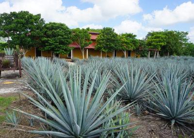 Distilleria-dell'agave-Mayapan- Diario di viaggio in Messico