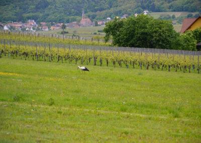 Vigneti con cicogna, Colmar - Diario di viaggio in Alsazia